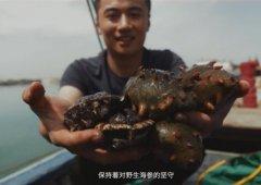 大钦岛野生海参和养殖海参区别